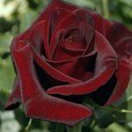 Чайно-гибридная роза Черная магия