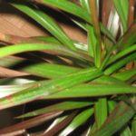 Листья драцены поражены щитовкой