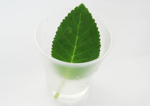 глоксиния вода