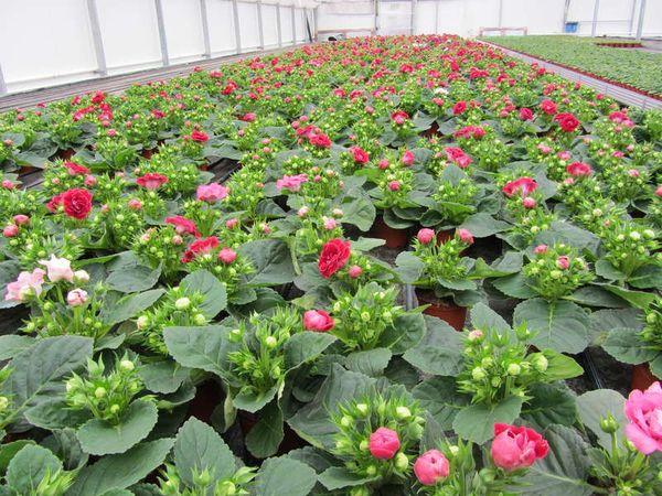выращивание глоксинии