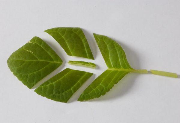 лист глоксинии