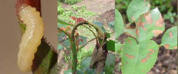 Начинать борьбу с вредителями и болезнями кустовой розы следует с профилактических мероприятий, которые проводятся в течение всего года