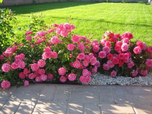 Розы почвопокровные посадка и уход 105