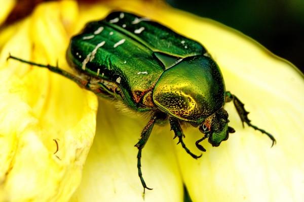 Опасный вредитель для цветка - жук-бронзовка, поедающий бутоны
