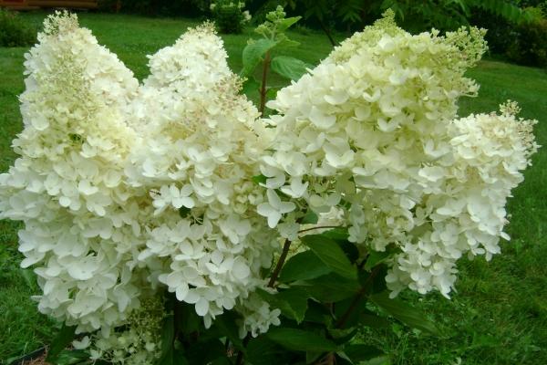 Гортензия метельчатая Грандифлора (Grandiflora): описание сорта, посадка и уход