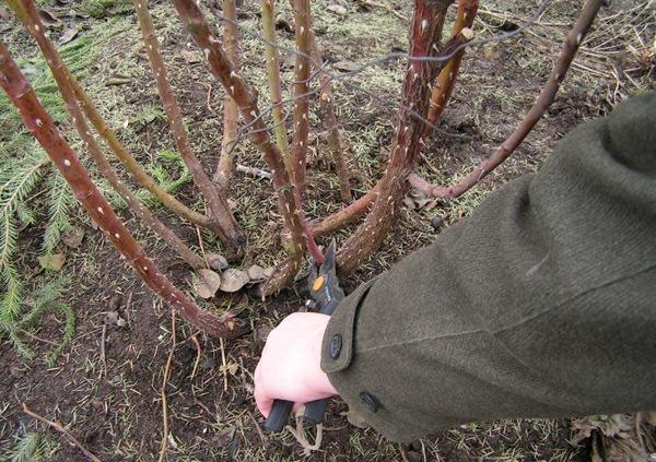 Весной на кустах роз удаляют старые неопавшие листья и проводят санитарную обрезку