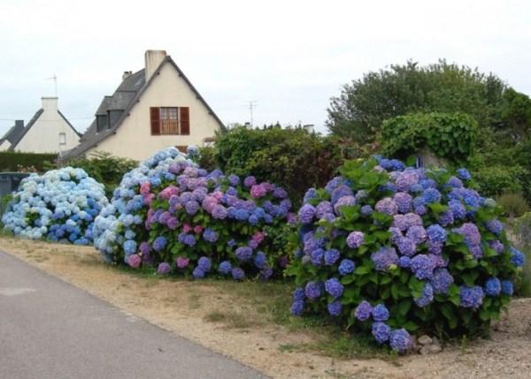 Гортензия крупнолистная садовая
