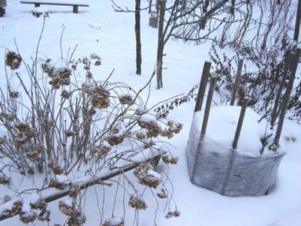 Гортензия Пинки Винки является морозоустойчивым растением, однако для молодых саженцев лучше применить укрытие