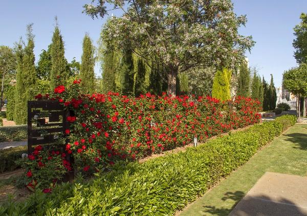 Живая изгородь из Парковых роз