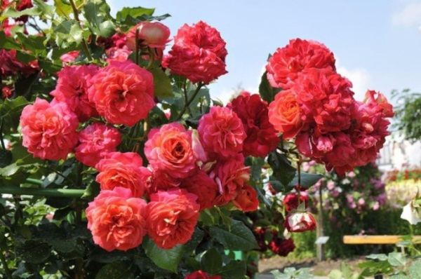 Цвет розы Флорибунда