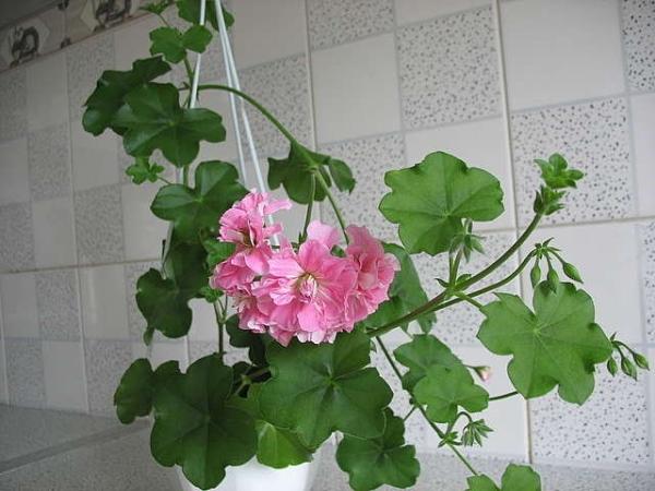 Растение любит солнечный свет и тепло, хорошо переносит засуху