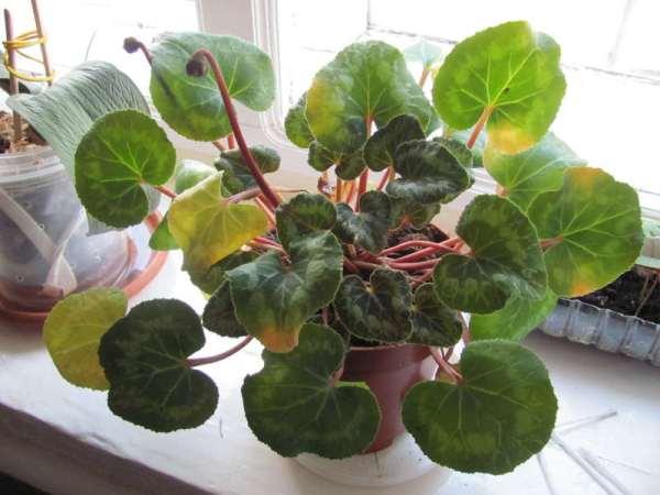 Желтеют листья цикламена