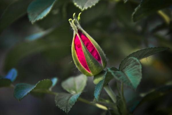 Основные причины не раскрытия бутонов кустовых роз - это недостаток солнечного света, нехватка влаги и вредители