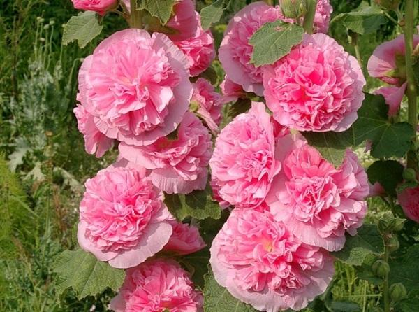 Мальва или шток роза