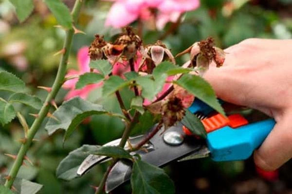 Куст необходимо обрезать осенью или весной: количество продуктивных ветвей в кроне нужно постоянно нормировать
