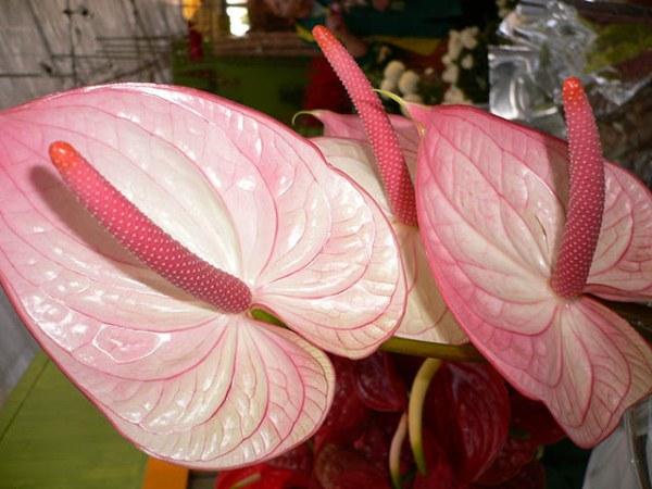 Антуриум или Розовый фламинго