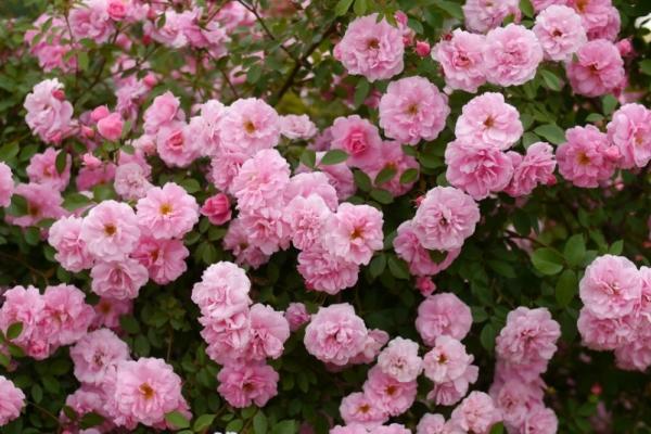 Розы сорта Джон Дэвис