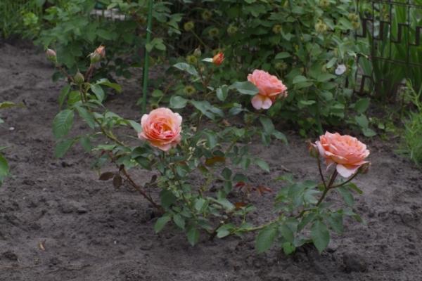 Выращивание в теплицах является наиболее оптимальным вариантом, поскольку гарантируют условия, максимально подходящие для этих растений