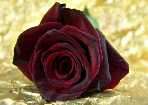 Темные бордовые розы символизируют сжигающую страсть