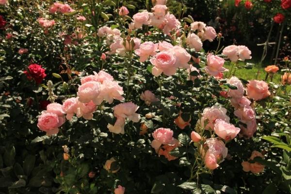 Английские розы по типу куста бывают плетистые, низкие, средние, высокие, густые или разреженные