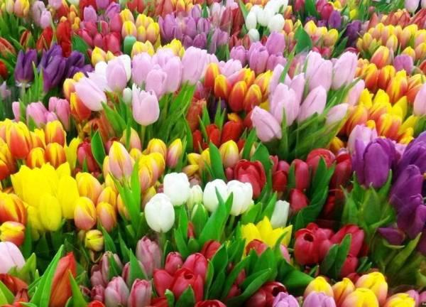 На сегодняшний день выращивают тюльпаны различных цветов и оттенков