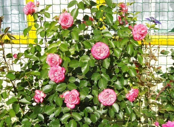 Зимостойкие сорта роз для Сибири