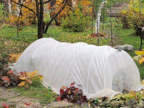Укрывать миниатюрные розы надо с наступлением устойчивых холодов