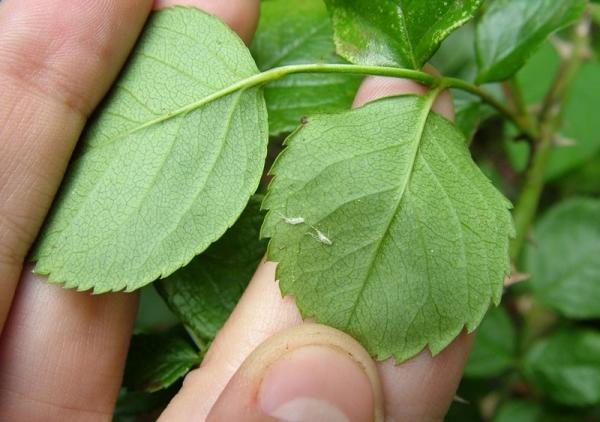 Полиантовые розы подвержены различным заболеваниям и вредителям