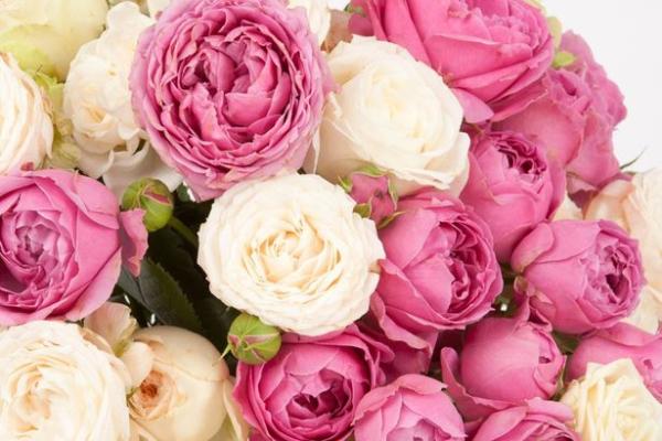 Пионовидные розы - описание, сорта, посадка и уход