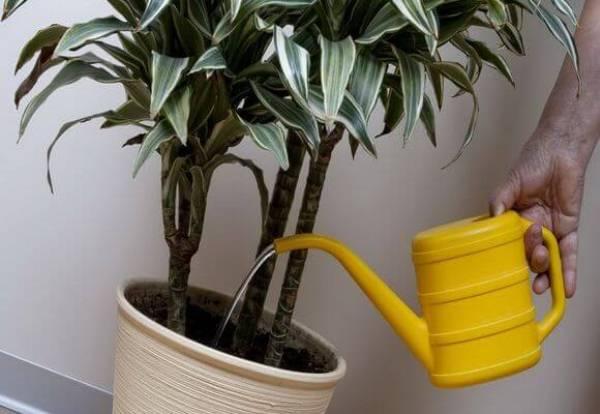 Для полива нельзя использовать холодную воду, в противном случае это может отрицательно повлиять на листьях растения и на корневой системе