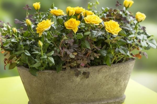 Миниатюрные, карликовые, бордюрные розы