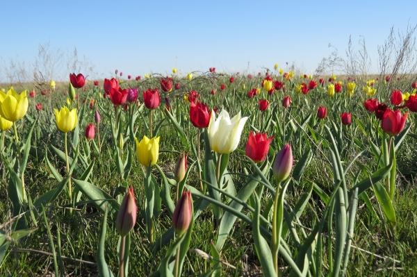 Природный Ареал распространения тюльпанов огромен: от Балкан до Западной Сибири, от Монголии до Индии, Япония и Корея, Ливия и Иран