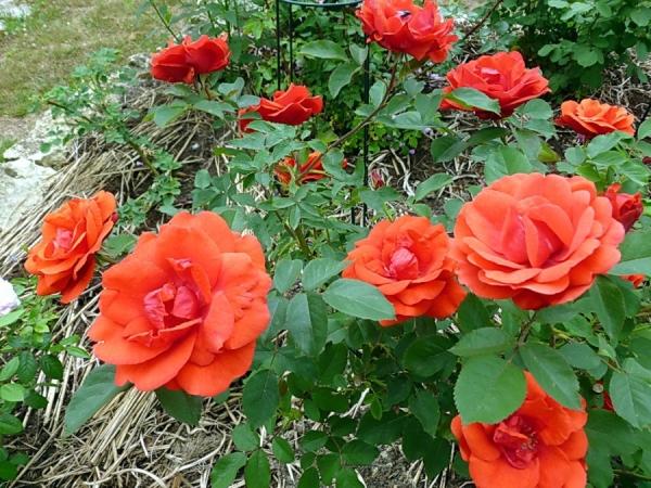 Розы сорта Джон Франклин