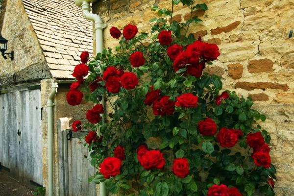 Вид вьющихся роз Клаймберы