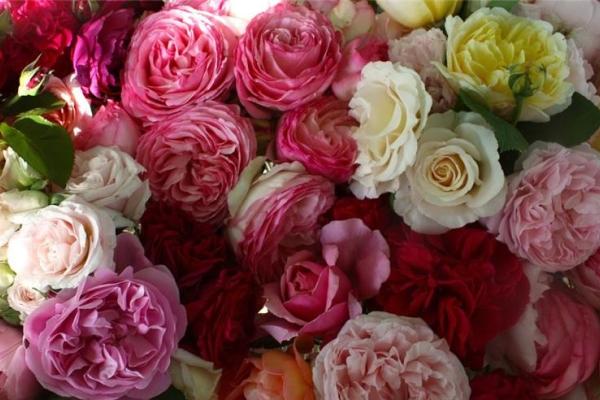 Английские розы: описание, сорта, посадка и уход