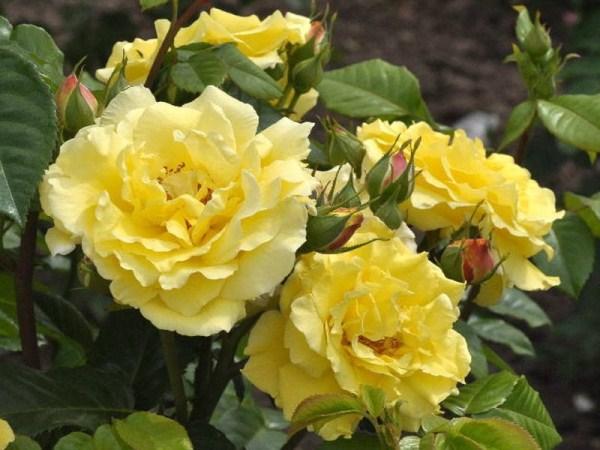 Гибридная парковая роза Шарлотт
