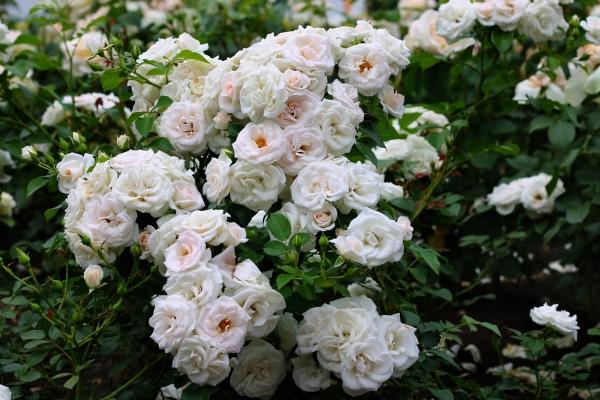 Вид плетистых роз Клаймбинги