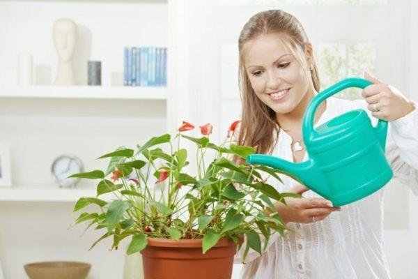 Больше всего внимания поливу, следует уделять в фазе хорошего роста цветка