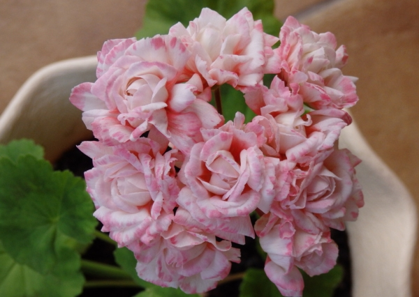 Розоцветная (махровая) пеларгония