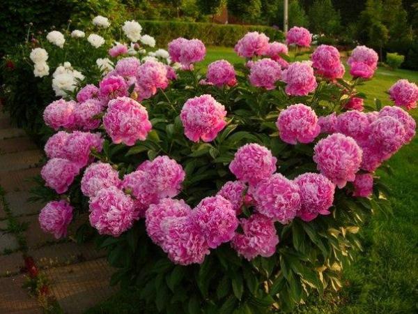 Махровые Бомбовидные пионы используют для украшения садового участка