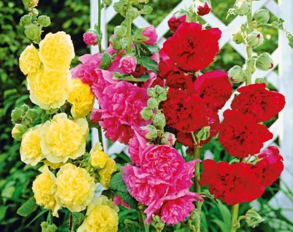 Шток роза будет хорошим украшением Вашей клумбы
