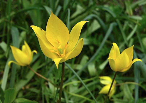 Тюльпан лесной — красивое, изящное растение с достаточно крупными (до 6 см) и приятно пахнущими цветками