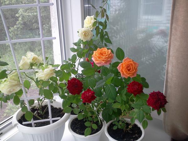 Для выращивания в домашних условиях подходят миниатюрные сорта роз