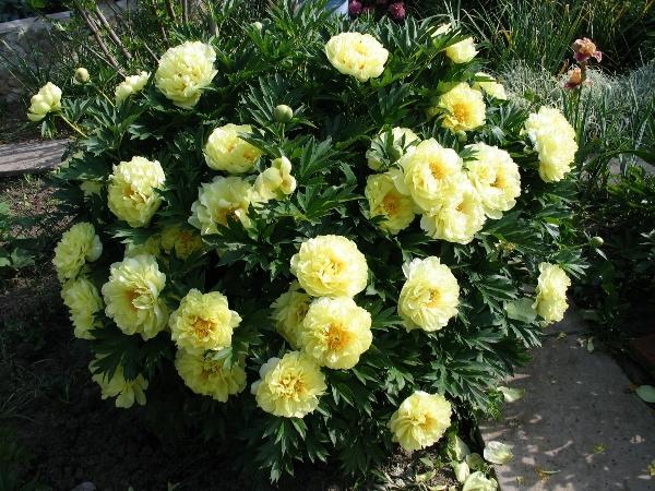 ИТО-гибрид Бартзелла (Paeonia Itoh Bartzella)