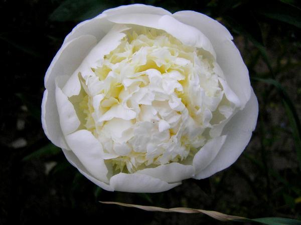 Все сорта пионов можно разделить на определенные группы в зависимости от срока их цветения
