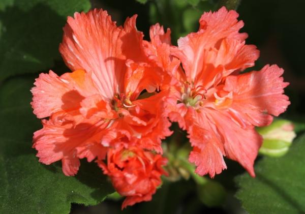 Гвоздикоцветная пеларгония