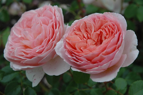 Крупные цветки розы Абрахам Дерби