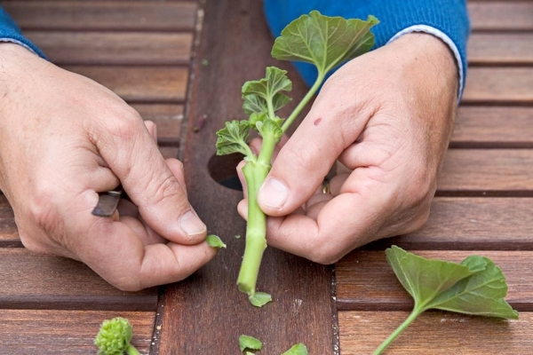Для того, чтобы размножить цветок черенками, нужно срезать верхушки побегов, на которых есть хотя бы три листика