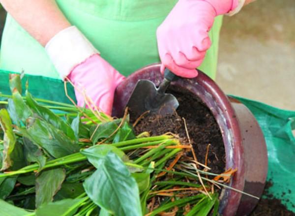 Для пересадки Антуриума всегда нужна свежая земля и новый горшок