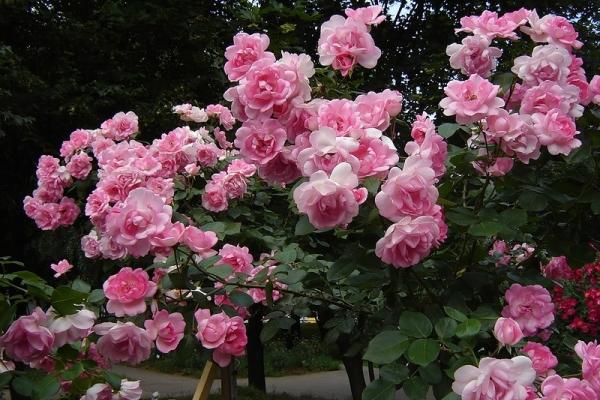 Что такое полиантовые розы и как их выращивать